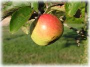 Jean-Denis MIMEAU Fruits